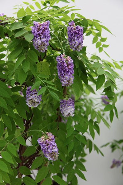 Wisteria frutescens 'Amethyst Falls' - A native species of North America, this is a more compact form than its Chinese and Japanese cousins. This makes it ideally suited for large pots, which can be placed under pergolas or arches to transform them into a charming feature, well-suited to a cottage garden. If the garden is large enough, then plant them out against the wall of a house for an incredible late spring and summer display.