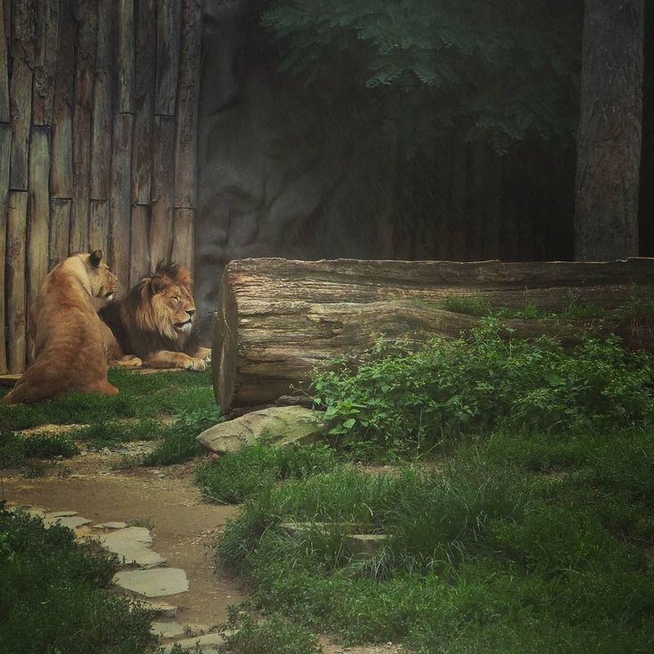 #lions #animals  #zoo  #olomouc_city  #trip  #photo