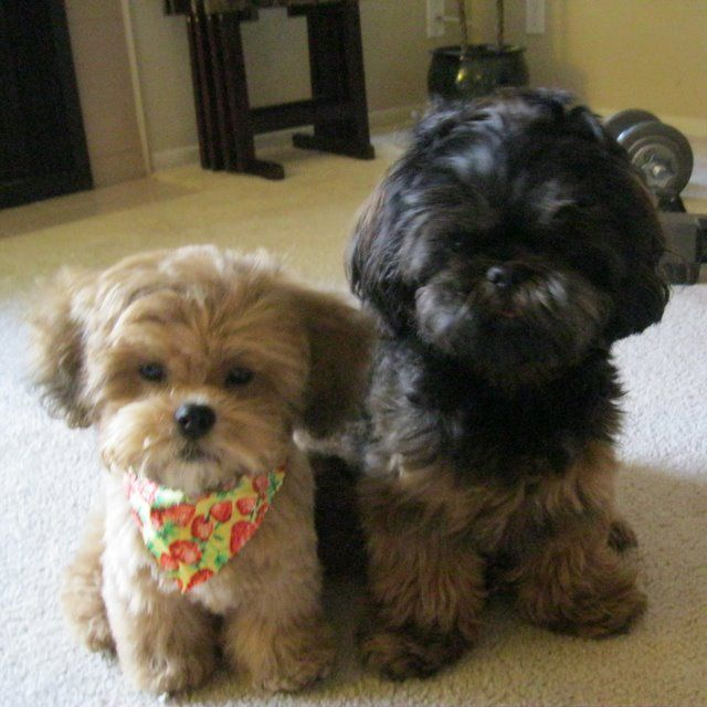 Lillybits Shichon Puppies Lily Pinterest Teddy Bear