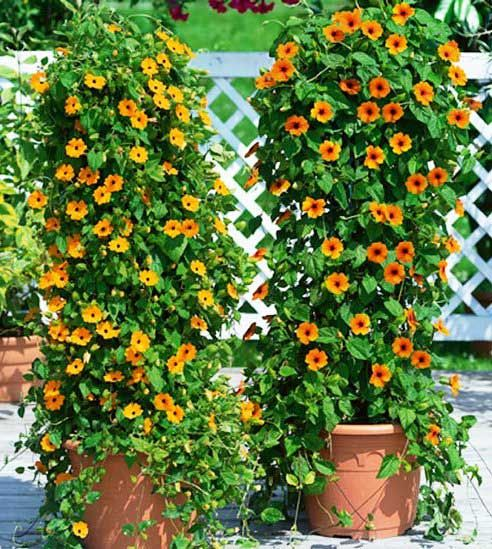 Black Eyed Susan Vine in containers