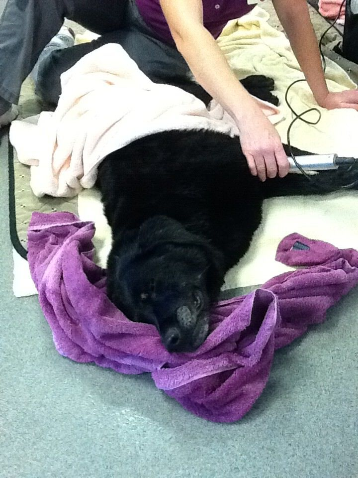 Becca enjoying her electro-therapy after her water treadmill exercise.