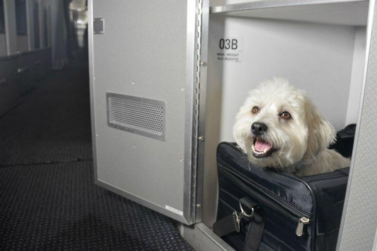 American Airlines cria primeira classe para animais de estimação