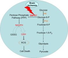 G6PD plays a neuroprotective role in brain ischemia through promoting pentose phosphate pathway