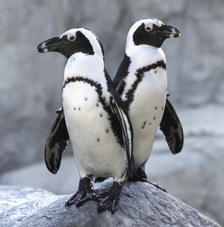 The endangered African penguin is a warm-weather species found along South Africa's coastline.