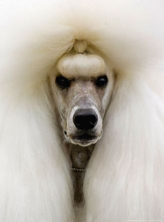 A Standard Poodle at the Mexican World Dog Show, 2007 Photo by Eduardo Verdugo