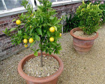 Лимон на подоконнике. Фото с сайта www.liveinternet.ru