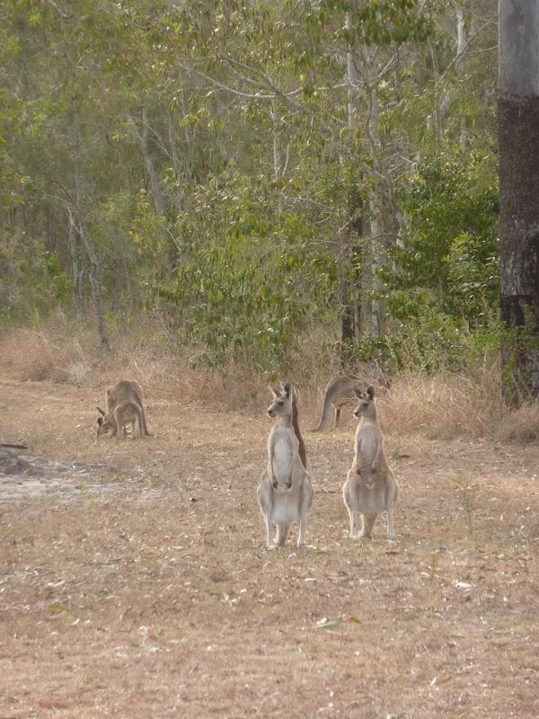 Australia - Agnes Water - Town of 1770 - Kangaroos
