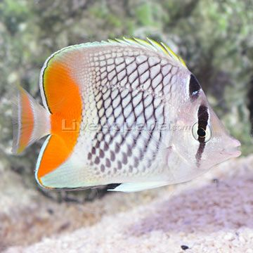 36 best images about cool marine fish on pinterest for Cool saltwater fish