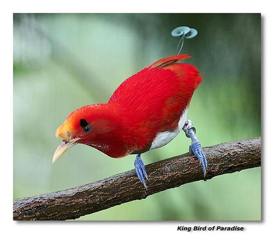 Bird of paradise animal drawing - photo#11
