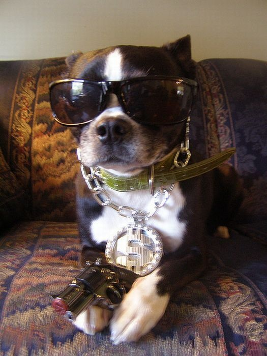 Gangster puppy