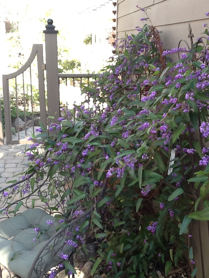 Hardenbergia Violacea Happy Wanderer Hardy Evergreen