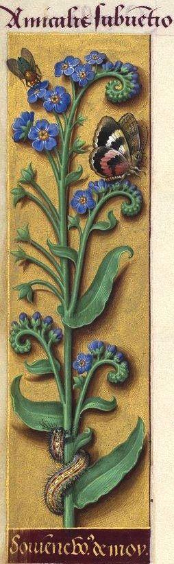 Souvienne vous de moy - Amicalis subventio (Myosotis palustris With. = myosotis, ne m'oubliez pas) -- Grandes Heures d'Anne de Bretagne, BNF, Ms Latin 9474, 1503-1508, f°29v