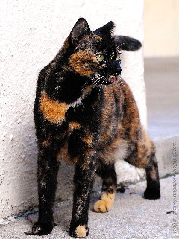 Кошки в города Льва - Фотографии кошек в Сингапуре 新加坡 流浪 猫 照片: черепаховый кот