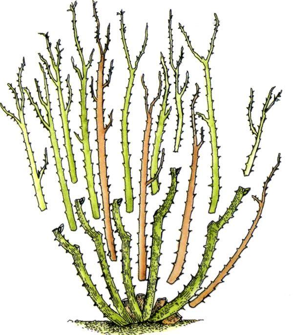 обрезка флориббунды