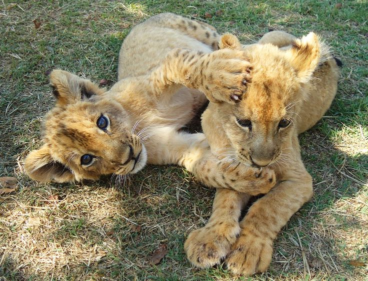 Playing with the lion cubs - Lion and Rhino Park, South Africa