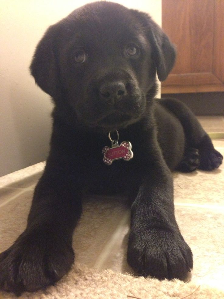 Baby Black Lab, Sutton | Animals | Pinterest | Black labs ...