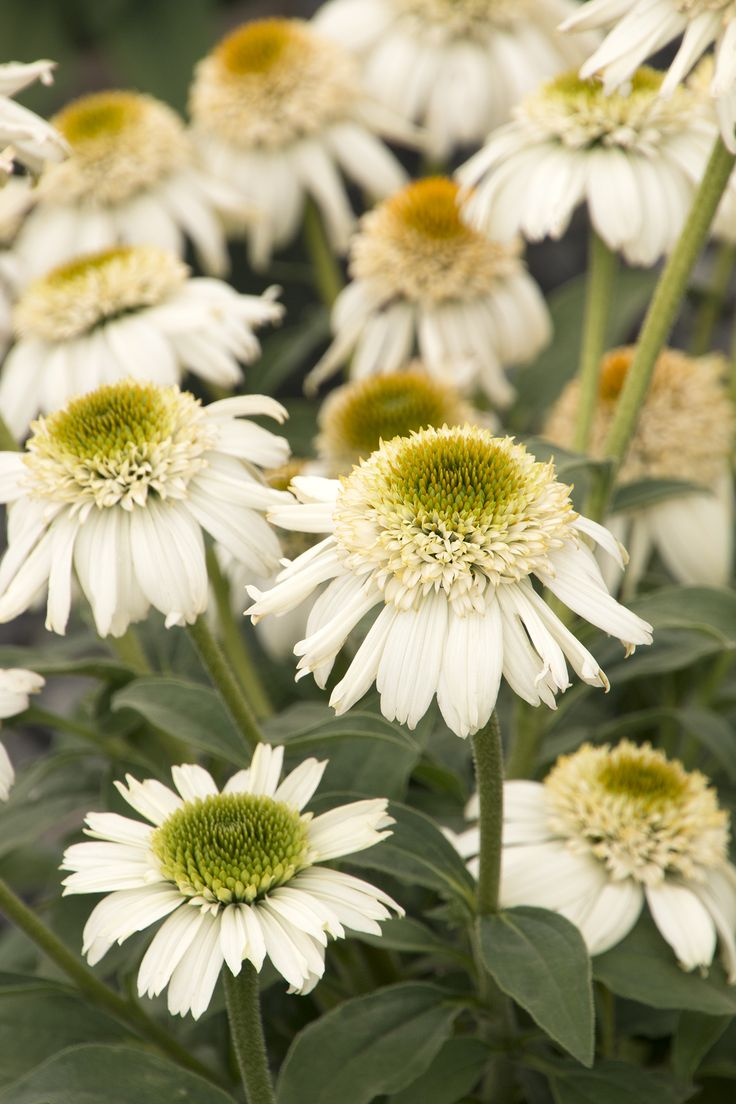 57 best images on pinterest daisy flower monrovias vanilla cupcake echinacea details and information dhlflorist Choice Image