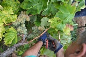 Con mucho cuidado separamos los racimos de la cepa. http://75centilitros.es/fotos-de-la-vendimia-2013-en-la-baronia-de-turis/