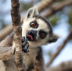 lemurs in madagascar assignment 2 essay Lemur collections are found in 14 zoos in madagascar, where a  (2) produce a  comprehensive lemur care manual in malagasy and french.