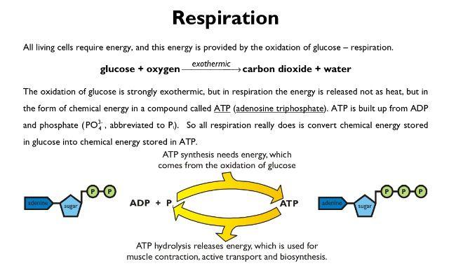 Aerobic essay question respiration