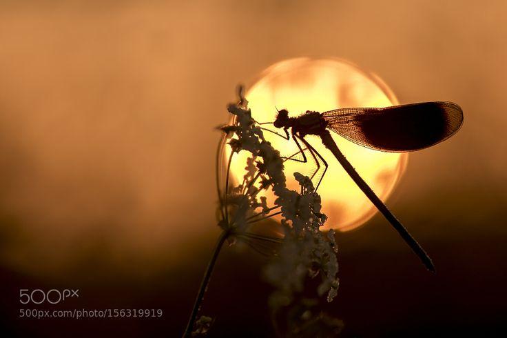 Banded Demoiselle at sunrise by ErikVeldkamp #nature #photooftheday #amazing #picoftheday