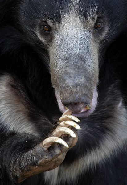 I'm pretty sure this sloth bear is Rupert's great-great grandpa.