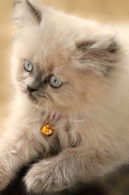 25 Best Ideas About Himalayan Kitten On Pinterest