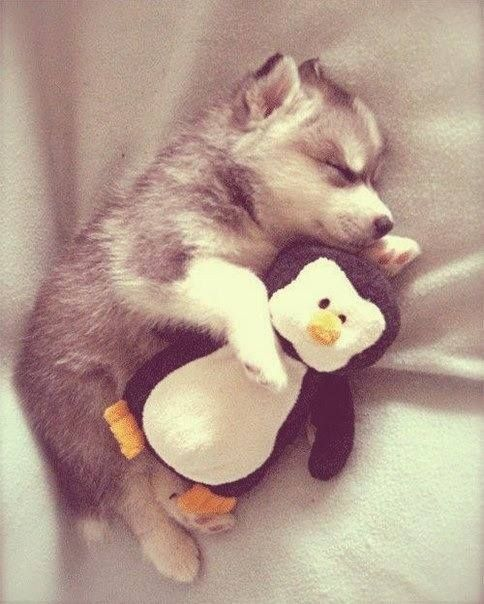 Husky puppy taking a nap with his stuffed penguin.