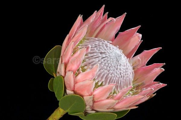 Protea cynaroides, King Protea   bIMG_8224a - Pink flower images