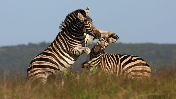 Na planinách často narazíte na zebry.