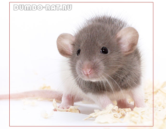 Cute baby dumbo rat - photo#3