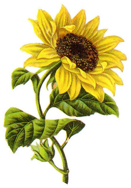 Sunflower  Graphics Flowers Pinterest Coloring Clip Art And The