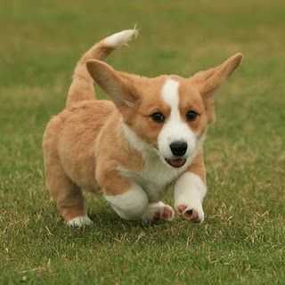 Awww! Cute Pembroke Welsh Corgi with a tail...