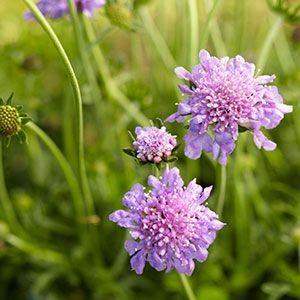 Perennial Flowers Bloom Guide