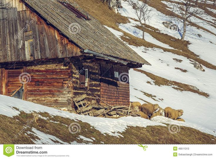 Traditional Romanian wooden house with sheep resting nearby during winter in Magura village, Brasov count, Romania.