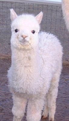 Baby Alpaca- AHHHHHHHHHHH THAT IS THE CUTEST THING EVER