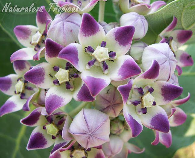 Flores de la planta Algodón de Seda, Calotropis procera