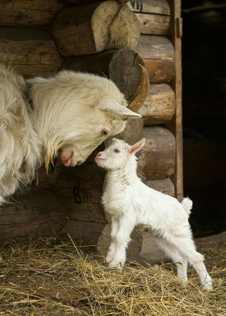 Darling photo of a baby goat head butting its Mommy! Kids always find a way to play! #dianadee - ANIMALS OF A DIFFERENT - https://www.pinterest.com/DianaDeeOsborne/animals-of-a-different/ - Notice the rich hair that would make a wonderful sweater if carded, spun and woven!