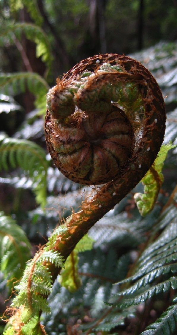 New Zealand's iconic Koru plant, growing in the Woods