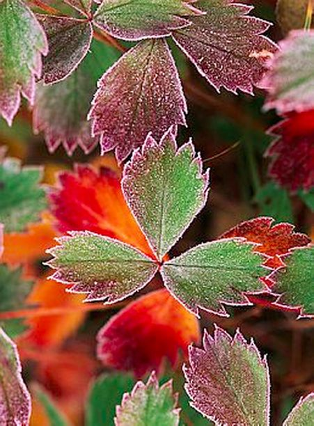 Today's featured photo: Frosted fall leaves of orange and green