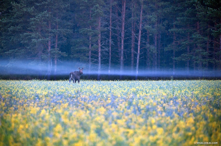 'Moose in the Mist'    Nauvo, Finland - 4am July 17th 2010 - Vesa Loikas Photography & Fine Art Prints