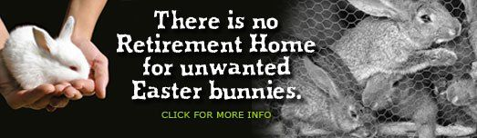 Welcome to Long Island Rabbit Rescue Group #long #island #rabbit, #rabbit #rescue, #bunny #rescue, #adopt #rabbit, #long #island #rabbit #rescue, #long #island #rabbit #adoption, #rabbit #adoption # http://lease.nef2.com/welcome-to-long-island-rabbit-rescue-group-long-island-rabbit-rabbit-rescue-bunny-rescue-adopt-rabbit-long-island-rabbit-rescue-long-island-rabbit-adoption-rabbit-adoption/  # LIVING WITH A HOUSE RABBIT When housed indoors. rabbits become members of the family. Rabbits need…