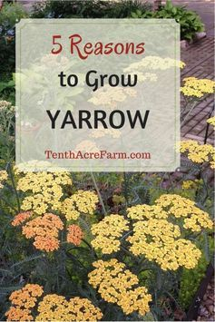 The yarrow plant is a flowering herb with many uses medicinally and in the permaculture garden.