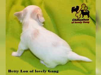 Kleines süßes Chihuahua Mädel sucht sein zu Hause auf LEBENSZEIT