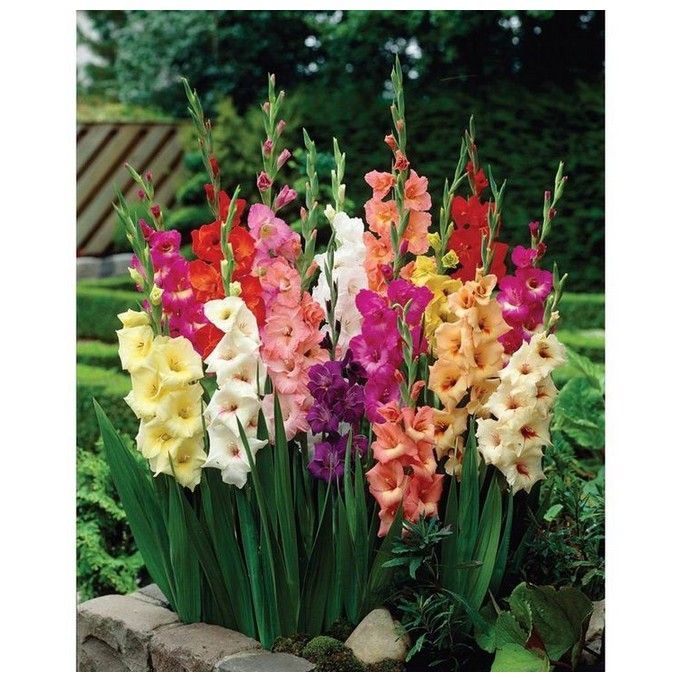 56 Beautiful Gnome Garden And Fairy Garden Design Ideas 23 Gladiolus Bulbs Planting Bulbs Gladiolus Flower