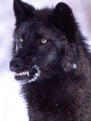 265 best images about wolves on pinterest wolves a wolf for Black wolf fish