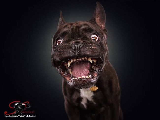 Забавные фотографии собак, ловящих лакомства (2)
