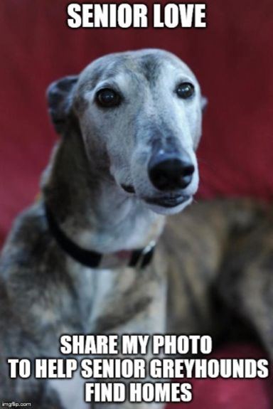 Senior greyhound love- Once one owns you, you will wonder how you ever got along without your buddy- Adopt today!