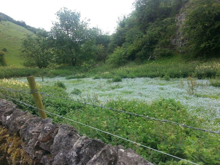 Thousands of forgetmenots in cressbrook dale peak district