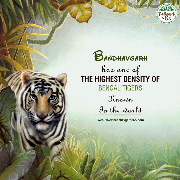 #Bandhavgarh Has One Of The Highest Density Of #BengalTigers Known in the World.
